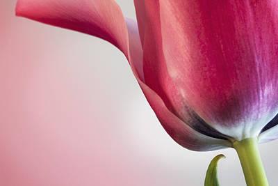 Barbara Smith Photograph - First Spring Tulip by Barbara Smith