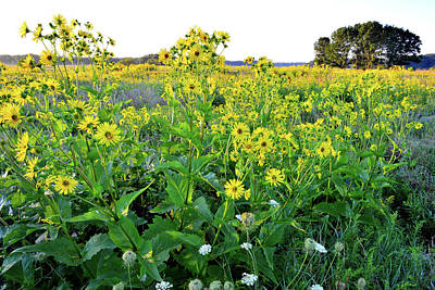 Photograph - First Sunlight On Sunflowers In Chain-o-lakes Sp by Ray Mathis