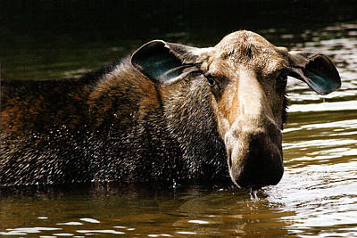 Photograph - First West Branch Pond Moose by Paula Guttilla
