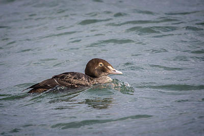 Photograph - First Winter King Eider Drake by Gary Hall