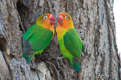 Lovebirds Photograph - Fischers Lovebird Agapornis Fischeri by Panoramic Images