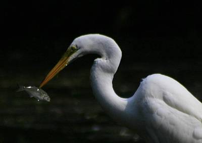 Photograph - Fish And Egret by Christopher Kirby