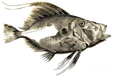 Fishy Drawing - Fish by Antonio Lafreri