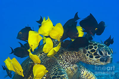 Green Sea Turtle Photograph - Fish Cleaning Turtle by Dave Fleetham - Printscapes