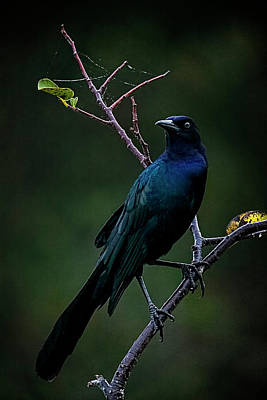 Male Boat-tailed Grackle Art Print by Cyndy Doty