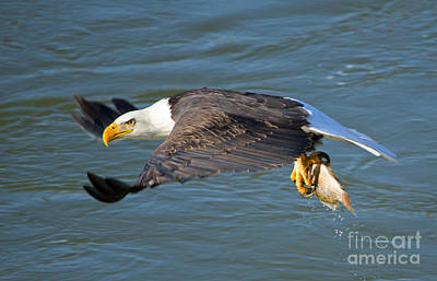 Eagle Photograph - Fish Dinner by Mike Dawson