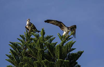 Osprey Photograph - Fish Eagles by Zina Stromberg