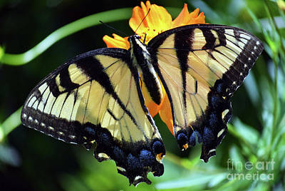 Photograph - Fish Eye Butterfly by Patti Whitten