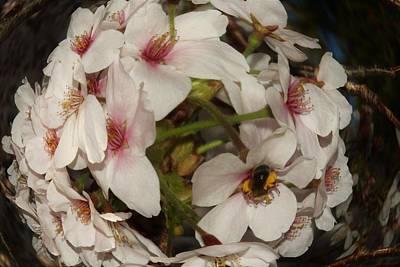 Photograph - Fish Eyed Cherry Blossom by Karen Silvestri
