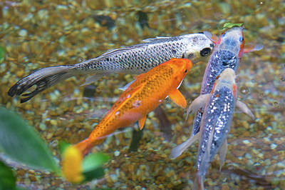 Photograph - Fish Fighting For Food by Raphael Lopez