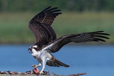Photograph - Fish For The Osprey by Cindy Hartman