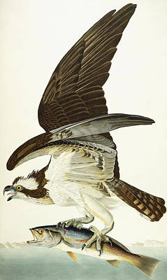 Birds Of Prey Drawing - Fish Hawk by John James Audubon