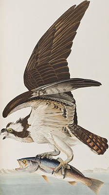 Birds Of Prey Drawing - Fish Hawk Or Osprey by John James Audubon