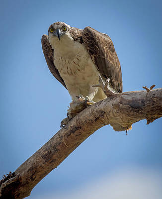 Stevenville Photograph - Fish Hawk by Steven Clevidence