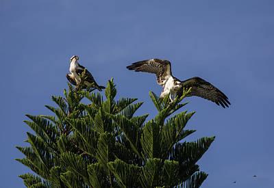 Osprey Photograph - Fish Hawks by Zina Stromberg
