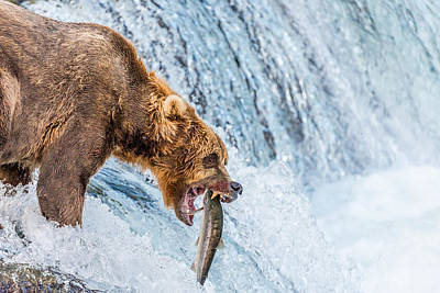 Grizzlies Photograph - Fish Out Of Water by Ian Stotesbury