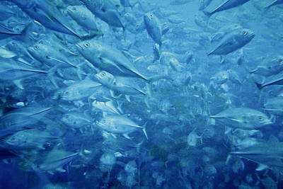 Blue Water Photograph - Fish Schooling Harmonious Patterns Throughout The Sea by Christine Till