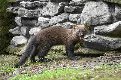 Photograph - Fisher In Front Of Rock Pile by Dan Friend