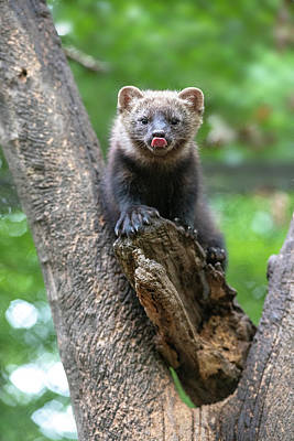 Photograph - Fisher Sticking Tongue Out In Fork Of Tree by Dan Friend