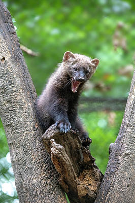 Photograph - Fisher Yawning In Fork Of Tree by Dan Friend