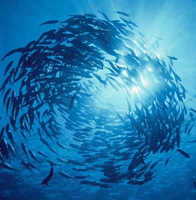 Fishes Swarm Underwater Art Print by Panoramic Images
