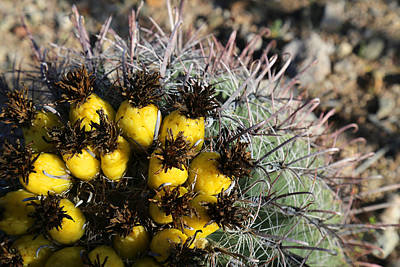 Photograph - Fishhook Barrel Cactus 1 by Mary Bedy