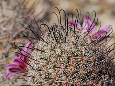 Photograph - Fishhook Cactus by Jean Noren