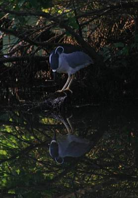 Bird Photograph - Fishing Black Crowned Night Heron by Christopher Kirby