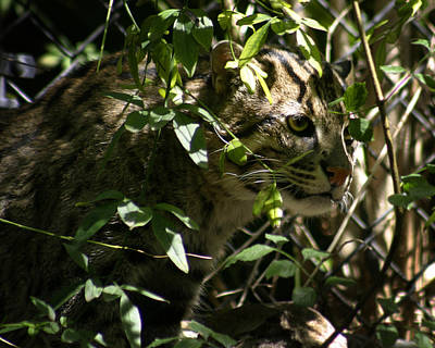 Photograph - Fishing Cat by Anthony Jones