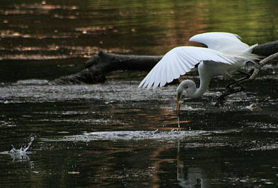 Photograph - Fishing Egret by Christopher Kirby