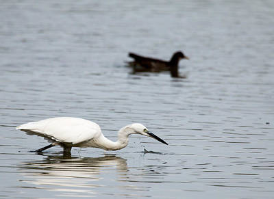 Photograph - Fishing Egret by Pietro Ebner