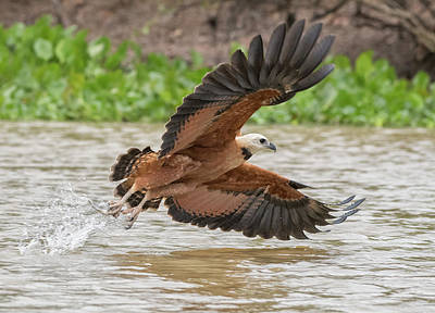 Photograph - Fishing Hawk by Wade Aiken
