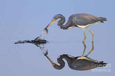 Tri-colored Heron Photograph - Fishing Reflection  by Rick Mann