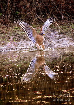 Red Shouldered Hawk Photograph - Fishing With Talons by Carol Groenen