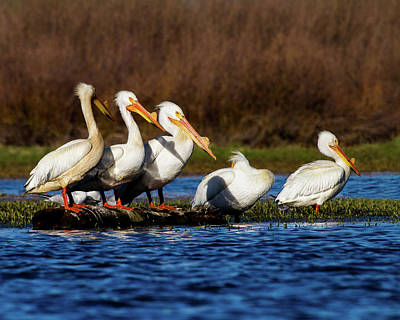 Photograph - Five American White Pelicans by TL Mair
