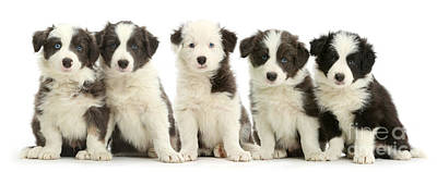 House Pet Photograph - Five Border Collie Puppies by Mark Taylor