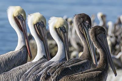Five Brown Pelicans Art Print by Bruce Frye