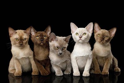 Photograph - Five Burmese Kittens by Sergey Taran