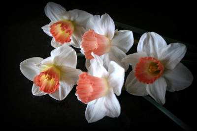 Photograph - Five Daffodils by Kay Novy