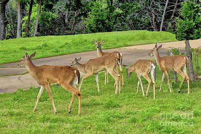 Photograph - Five White-tail Deer Grazing  by Janette Boyd