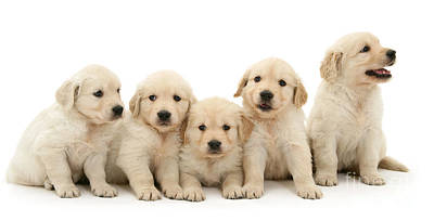 Photograph - Five Gold Pups by Warren Photographic