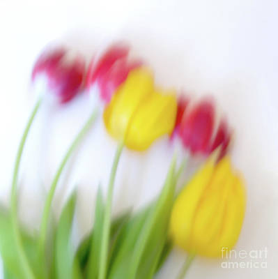 Flora And Fauna Photograph - Five Tulips by Janet Burdon