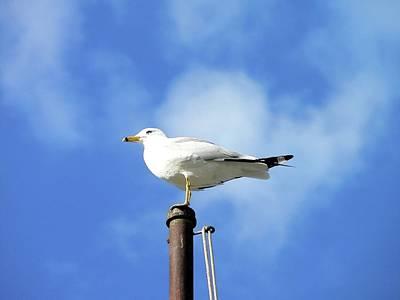 Flagpole Gull Art Print by Al Powell Photography USA