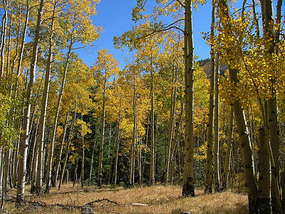 Photograph - Flagstaff Aspens 795 by Mary Dove