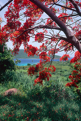 Flamboyan Photograph - Flamboyan Tree by George Oze