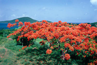 Flamboyan Photograph - Flamboyan Tree In Bloom Culebra Puerto Rico by George Oze