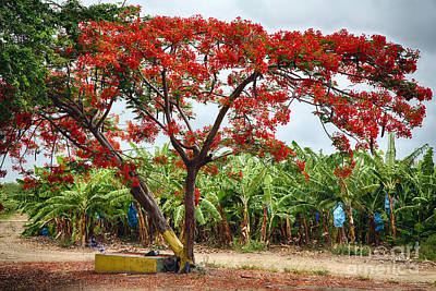 Flamboyan Photograph - Flamboyan Treee Blooming On A Banana Plantation by George Oze