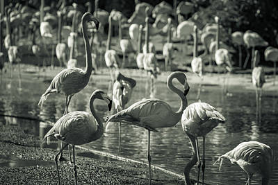 Flamboyance Of Flamingos Art Print
