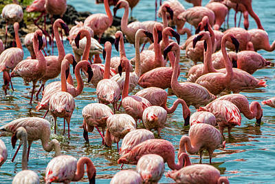 Photograph - Flamboyance Of Flamingos by Pravine Chester