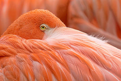 Photograph - Flamboyant Flamingo by Nadia Sanowar